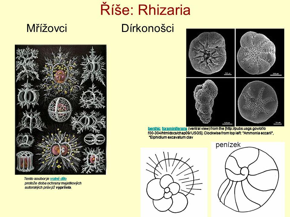 Říše: Rhizaria Mřížovci Dírkonošci penízek penízek