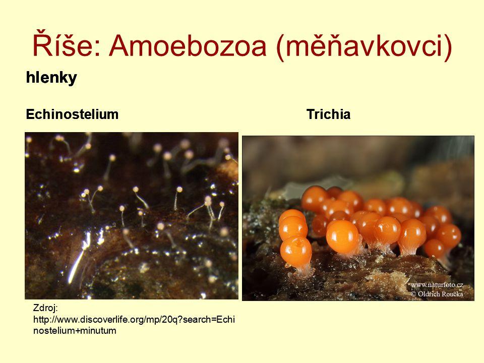 Říše: Amoebozoa (měňavkovci)