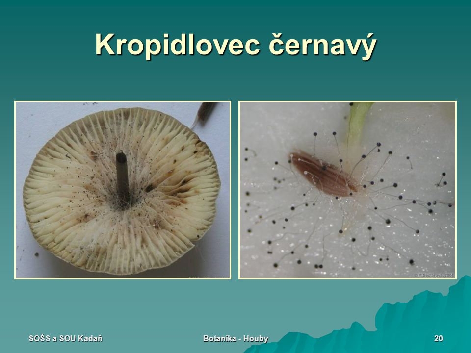Kropidlovec černavý SOŠS a SOU Kadaň Botanika - Houby