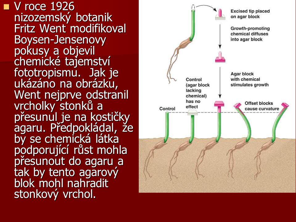 V roce 1926 nizozemský botanik Fritz Went modifikoval Boysen-Jensenovy pokusy a objevil chemické tajemství fototropismu. Jak je ukázáno na obrázku, Went nejprve odstranil vrcholky stonků a přesunul je na kostičky agaru.
