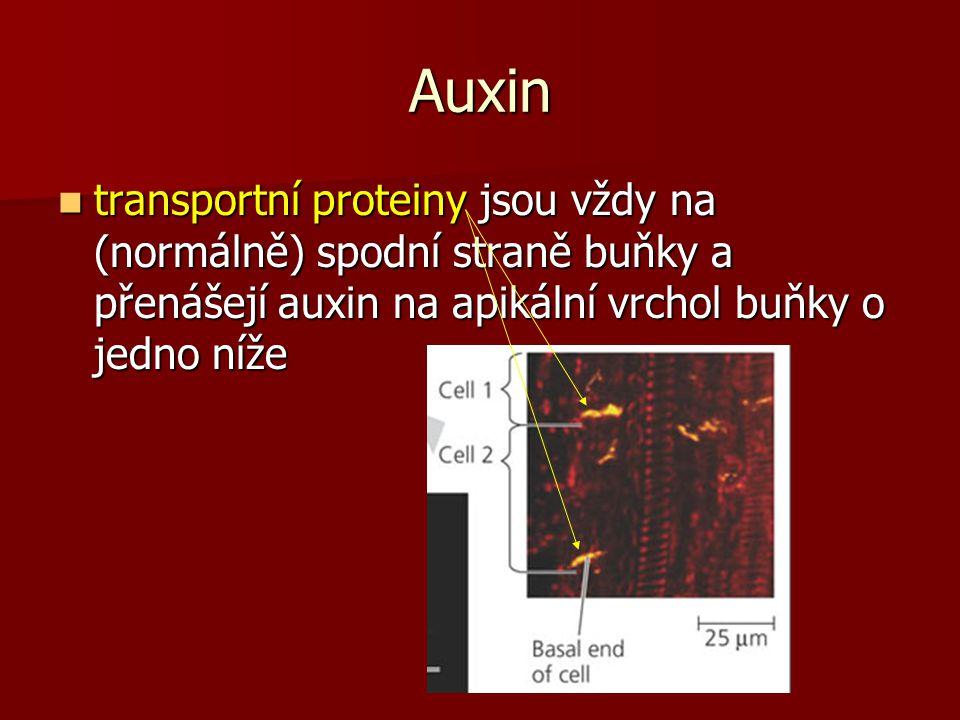 Auxin transportní proteiny jsou vždy na (normálně) spodní straně buňky a přenášejí auxin na apikální vrchol buňky o jedno níže.