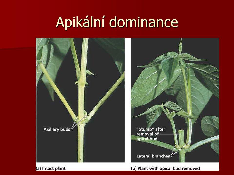 Apikální dominance