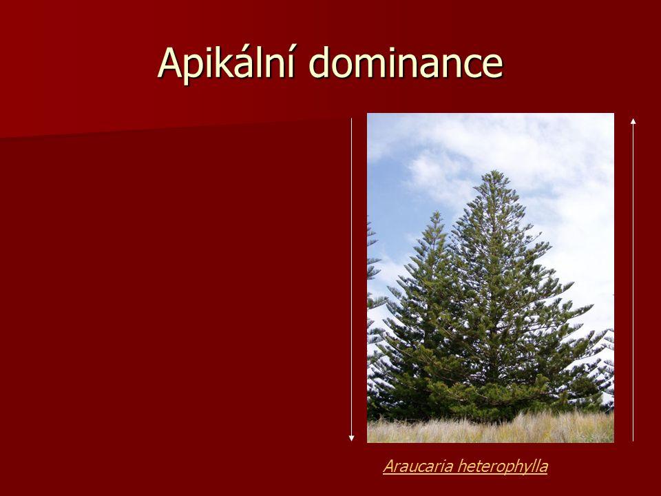 Apikální dominance Araucaria heterophylla