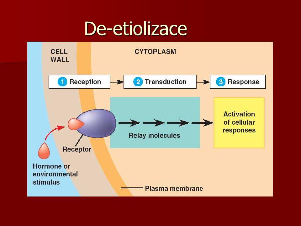 De-etiolizace