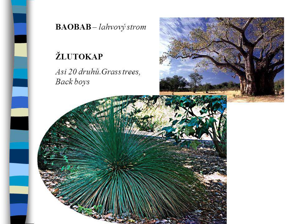 BAOBAB – lahvový strom ŽLUTOKAP.