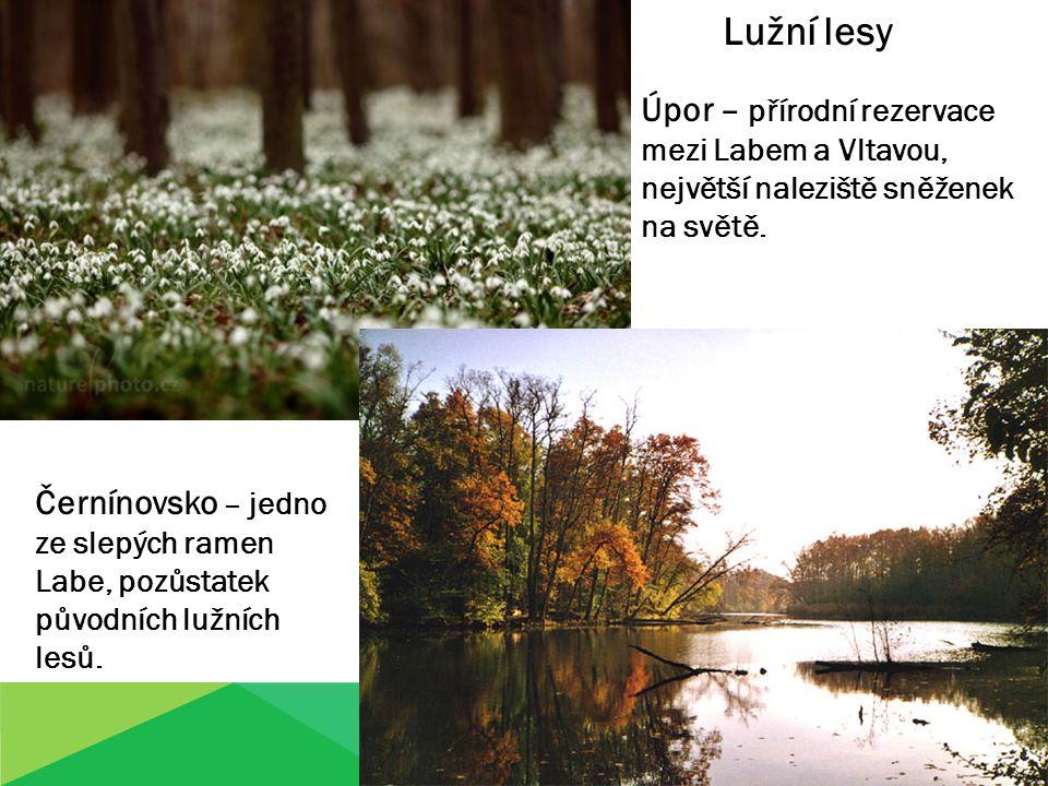 Lužní lesy Úpor – přírodní rezervace mezi Labem a Vltavou, největší naleziště sněženek na světě.