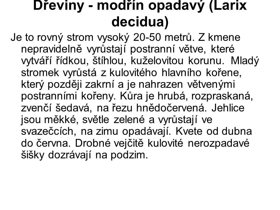 Dřeviny - modřín opadavý (Larix decidua)