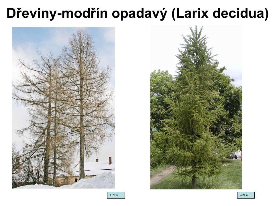 Dřeviny-modřín opadavý (Larix decidua)