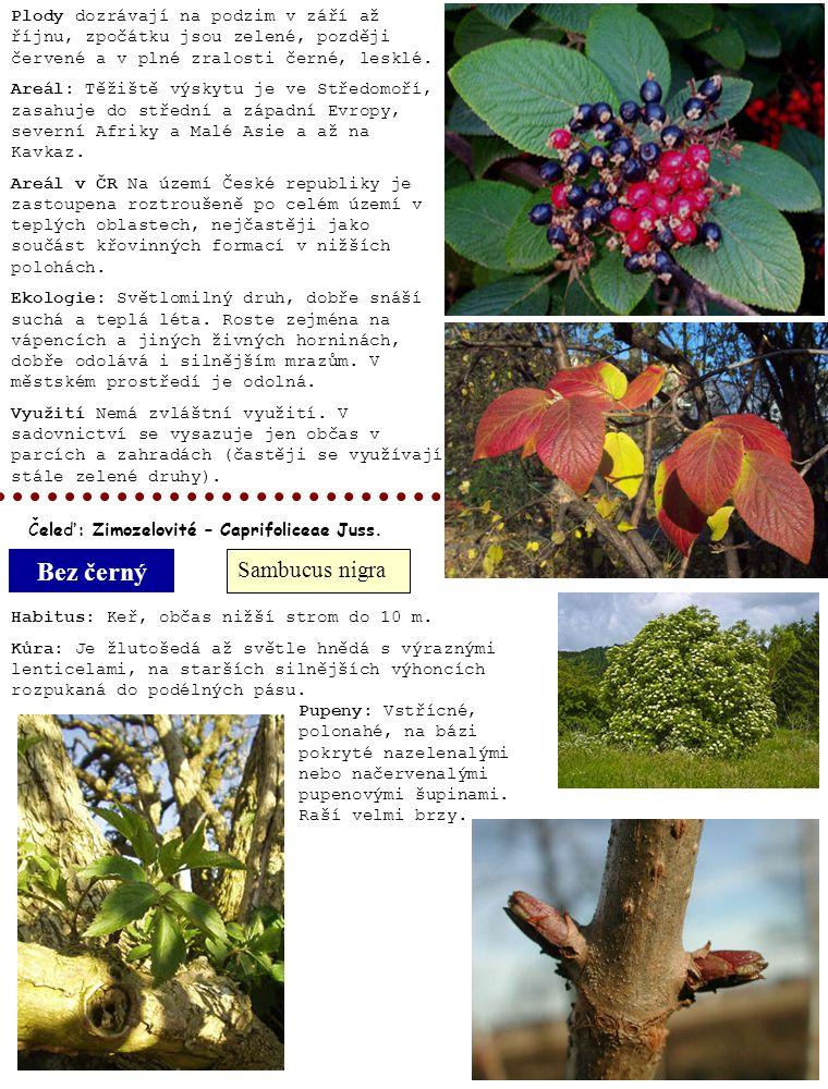 Bez černý Sambucus nigra