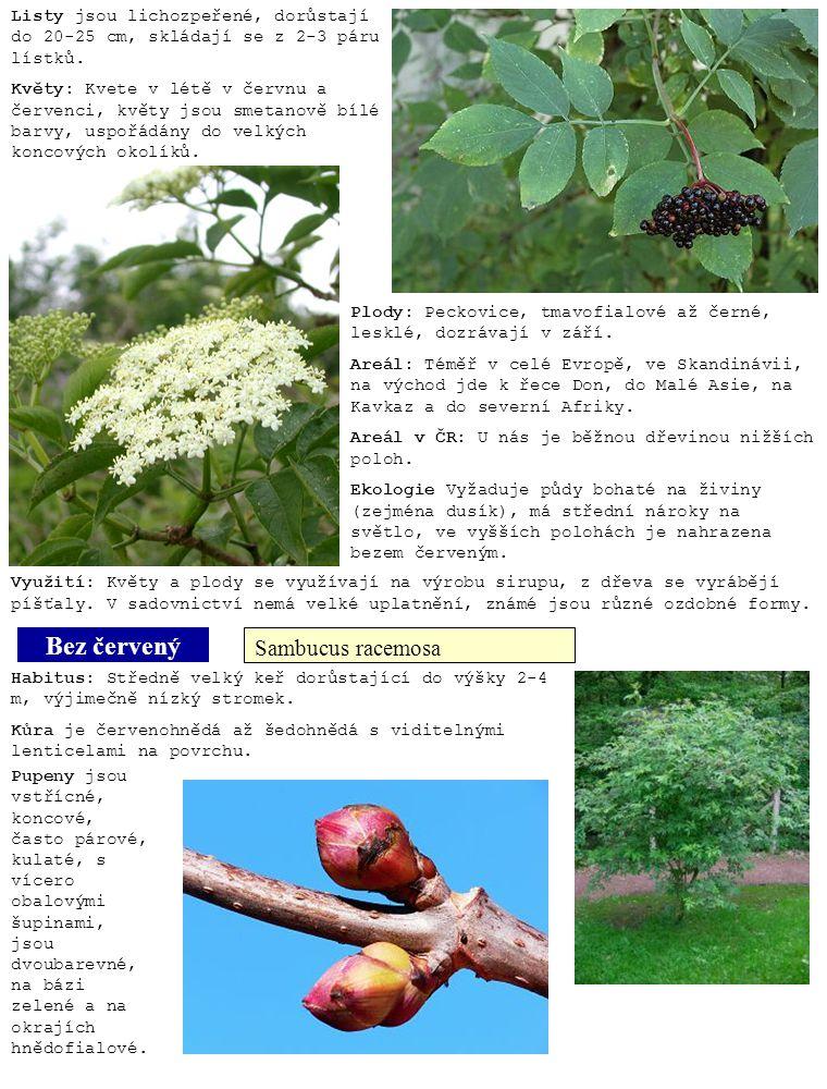 Bez červený Sambucus racemosa