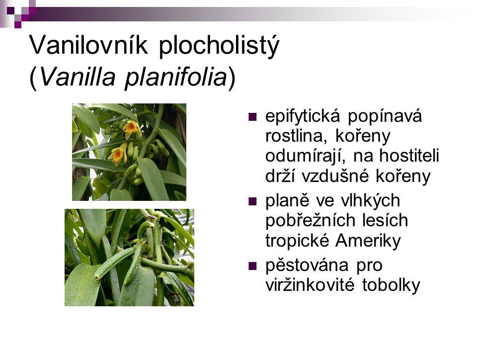 Vanilovník plocholistý (Vanilla planifolia)