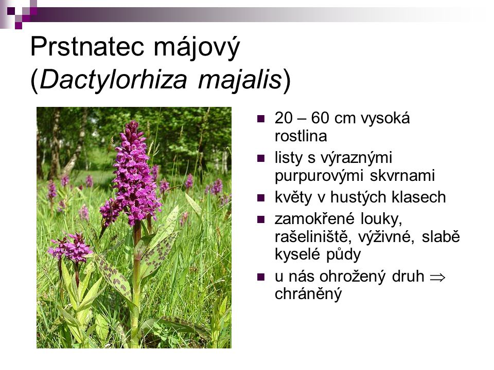 Prstnatec májový (Dactylorhiza majalis)