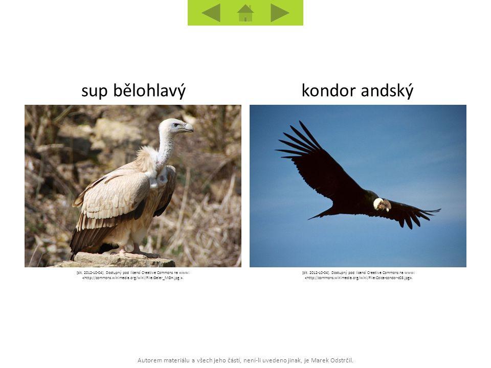 sup bělohlavý kondor andský