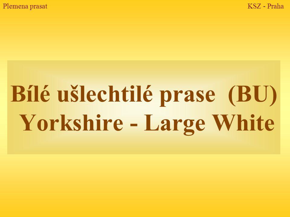 Bílé ušlechtilé prase (BU) Yorkshire - Large White