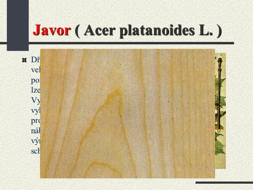 Javor ( Acer platanoides L. )