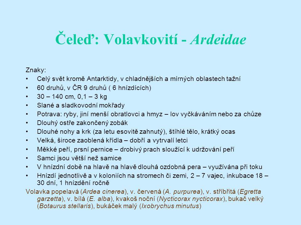 Čeleď: Volavkovití - Ardeidae