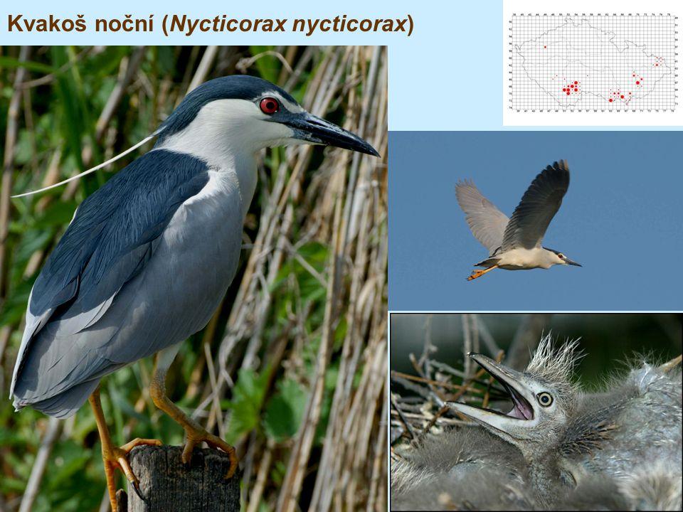 Kvakoš noční (Nycticorax nycticorax)