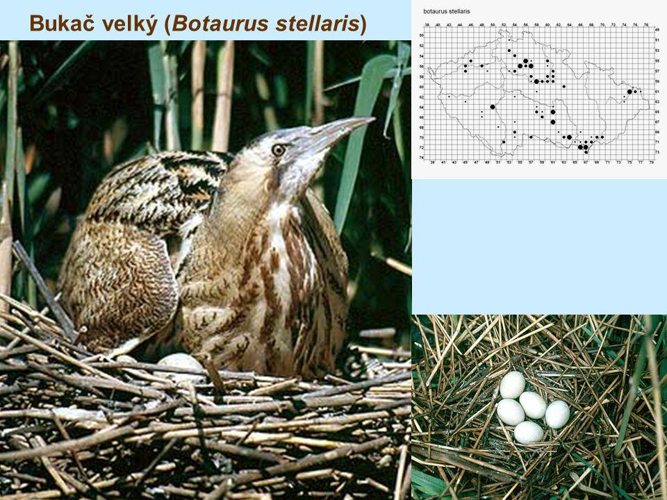 Bukač velký (Botaurus stellaris)