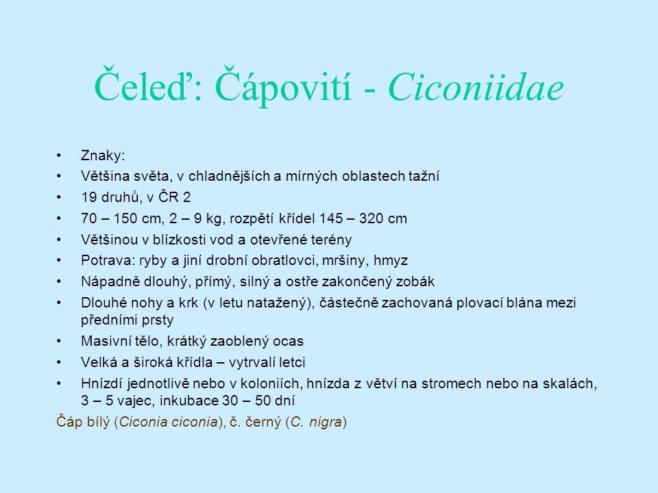 Čeleď: Čápovití - Ciconiidae