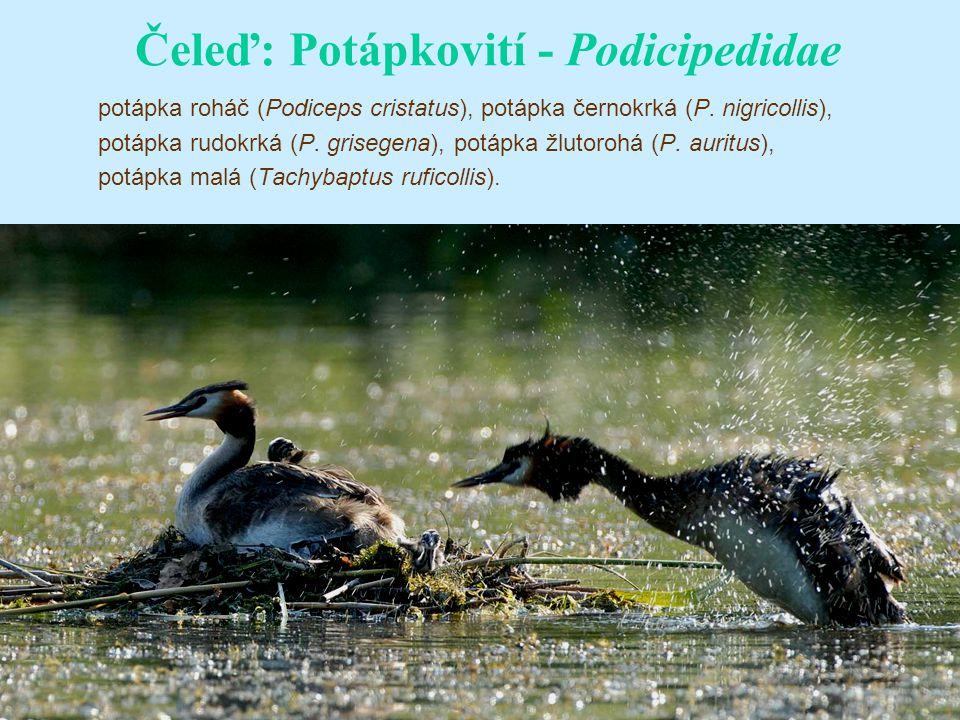 Čeleď: Potápkovití - Podicipedidae