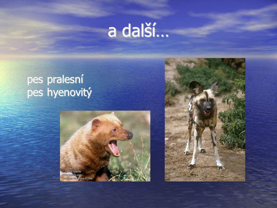a další… pes pralesní pes hyenovitý