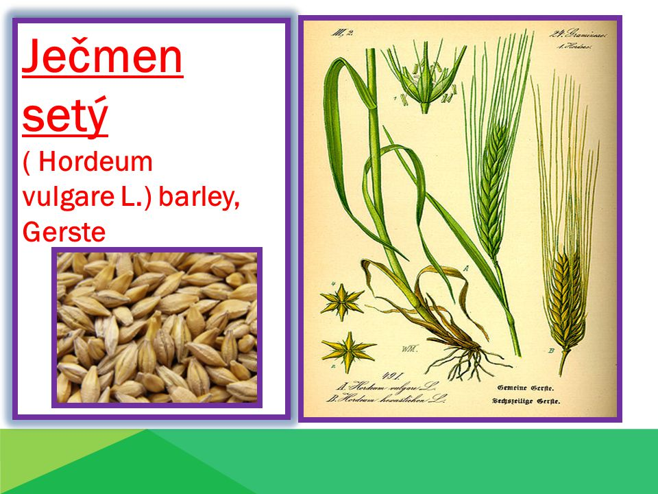 Ječmen setý ( Hordeum vulgare L.) barley, Gerste Pšenice obecn