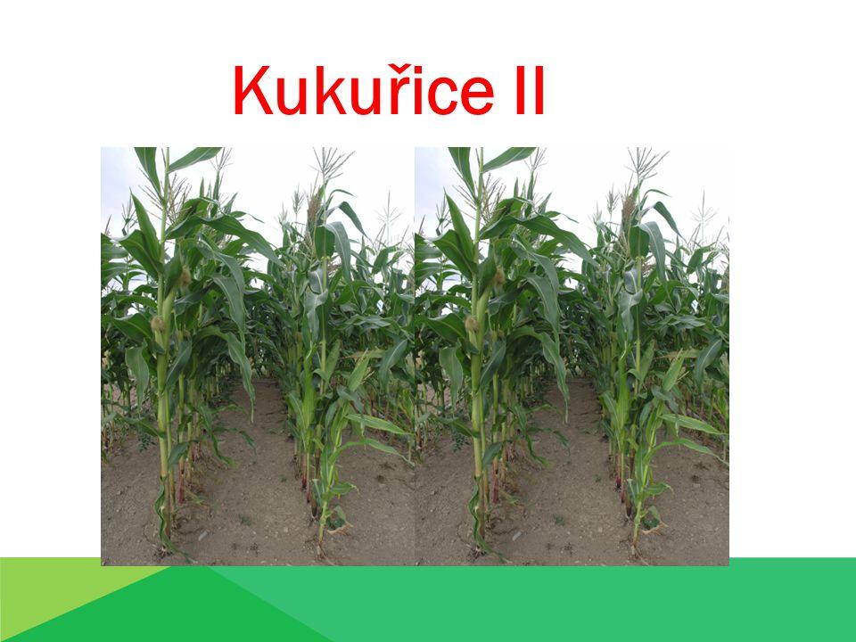 Kukuřice II