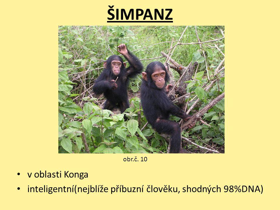 ŠIMPANZ v oblasti Konga