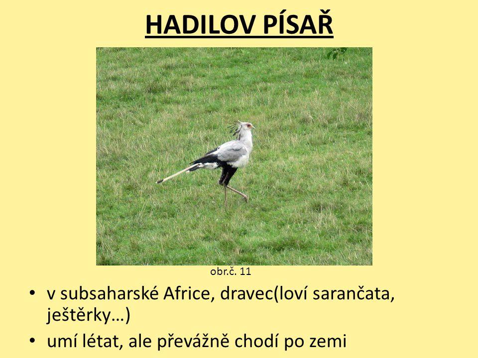 HADILOV PÍSAŘ v subsaharské Africe, dravec(loví sarančata, ještěrky…)