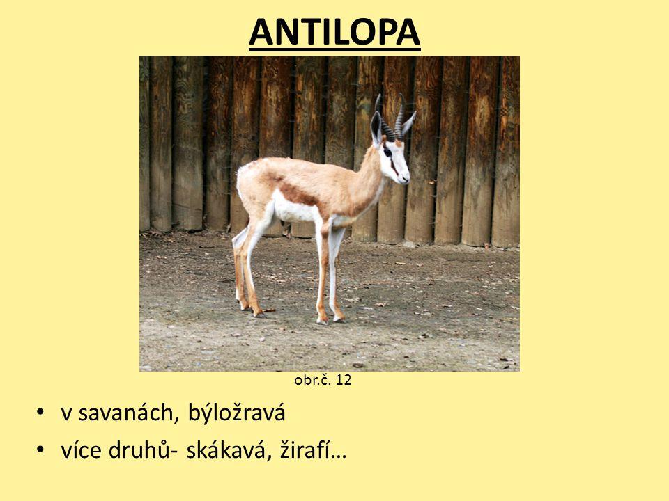 ANTILOPA obr.č. 12 v savanách, býložravá více druhů- skákavá, žirafí…