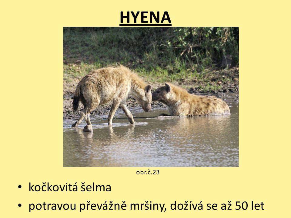 HYENA kočkovitá šelma potravou převážně mršiny, dožívá se až 50 let