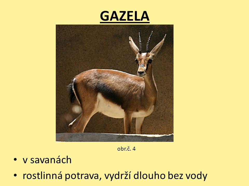 GAZELA obr.č. 4 v savanách rostlinná potrava, vydrží dlouho bez vody