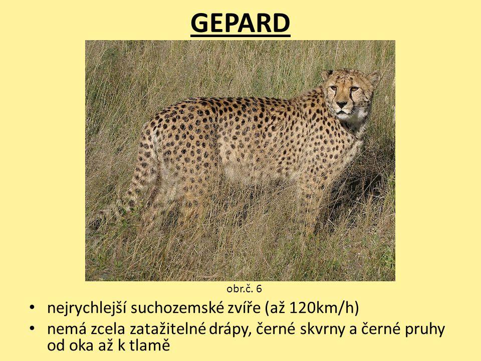 GEPARD nejrychlejší suchozemské zvíře (až 120km/h)