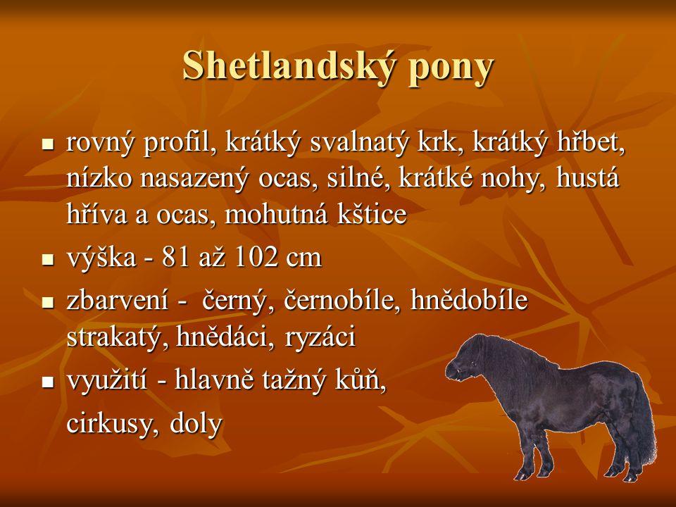 Shetlandský pony rovný profil, krátký svalnatý krk, krátký hřbet, nízko nasazený ocas, silné, krátké nohy, hustá hříva a ocas, mohutná kštice.