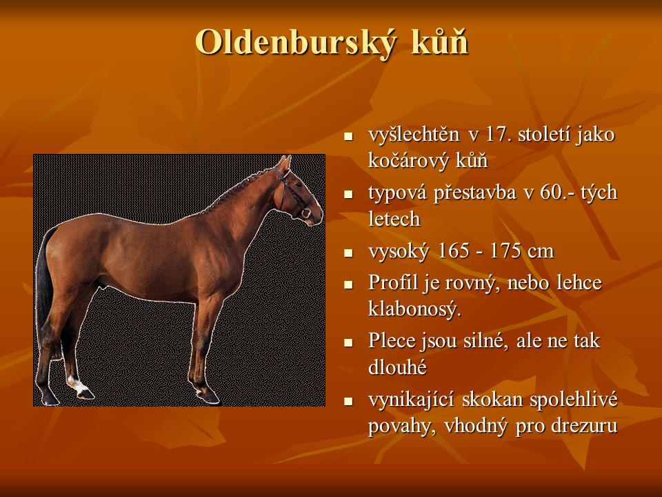 Oldenburský kůň vyšlechtěn v 17. století jako kočárový kůň