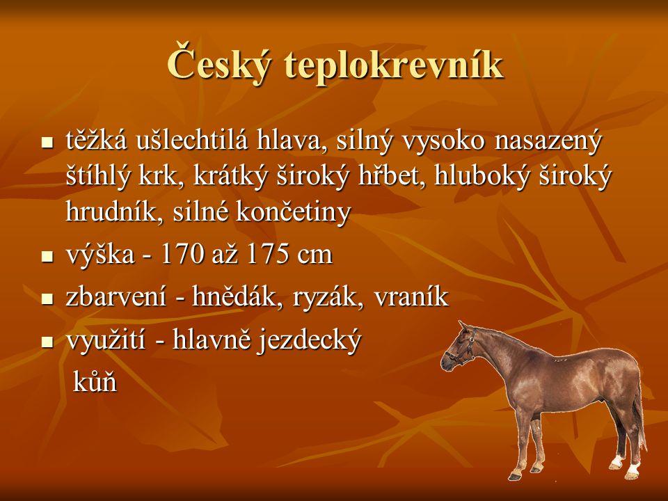 Český teplokrevník těžká ušlechtilá hlava, silný vysoko nasazený štíhlý krk, krátký široký hřbet, hluboký široký hrudník, silné končetiny.