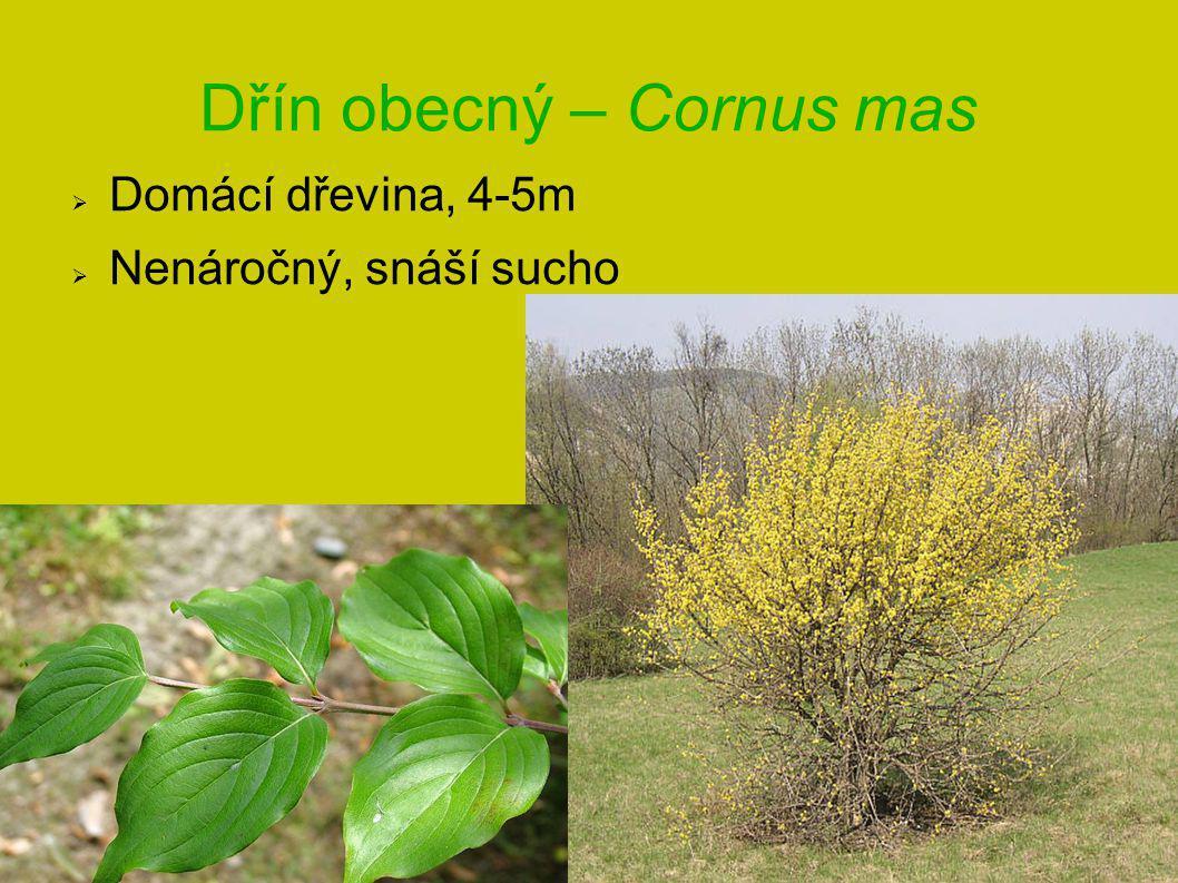 Dřín obecný – Cornus mas