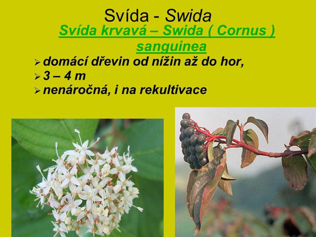 Svída krvavá – Swida ( Cornus ) sanguinea