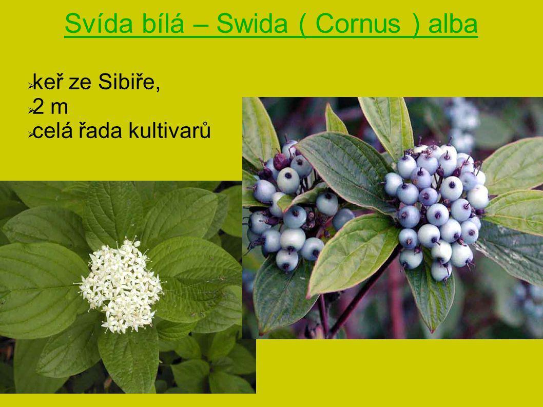 Svída bílá – Swida ( Cornus ) alba