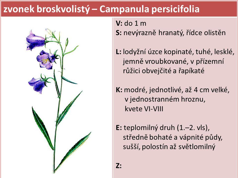 zvonek broskvolistý – Campanula persicifolia