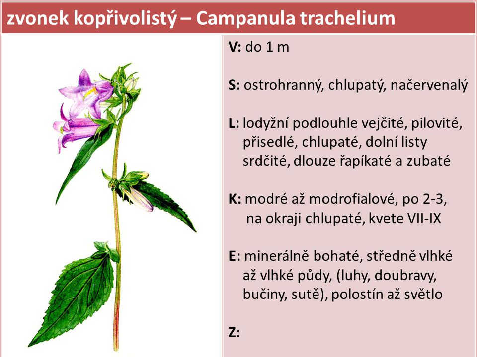 zvonek kopřivolistý – Campanula trachelium