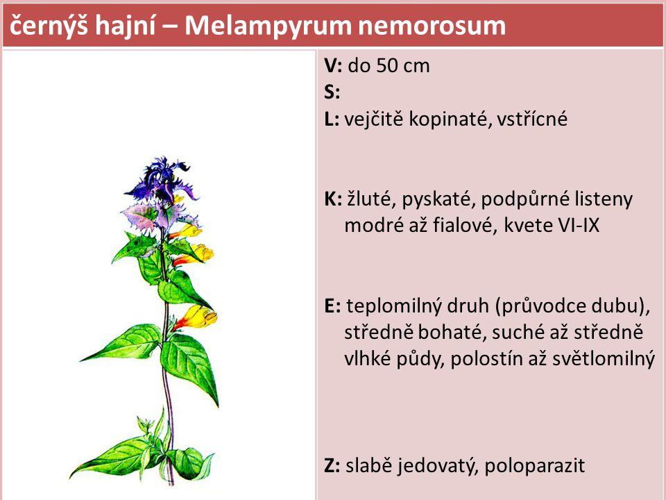 černýš hajní – Melampyrum nemorosum