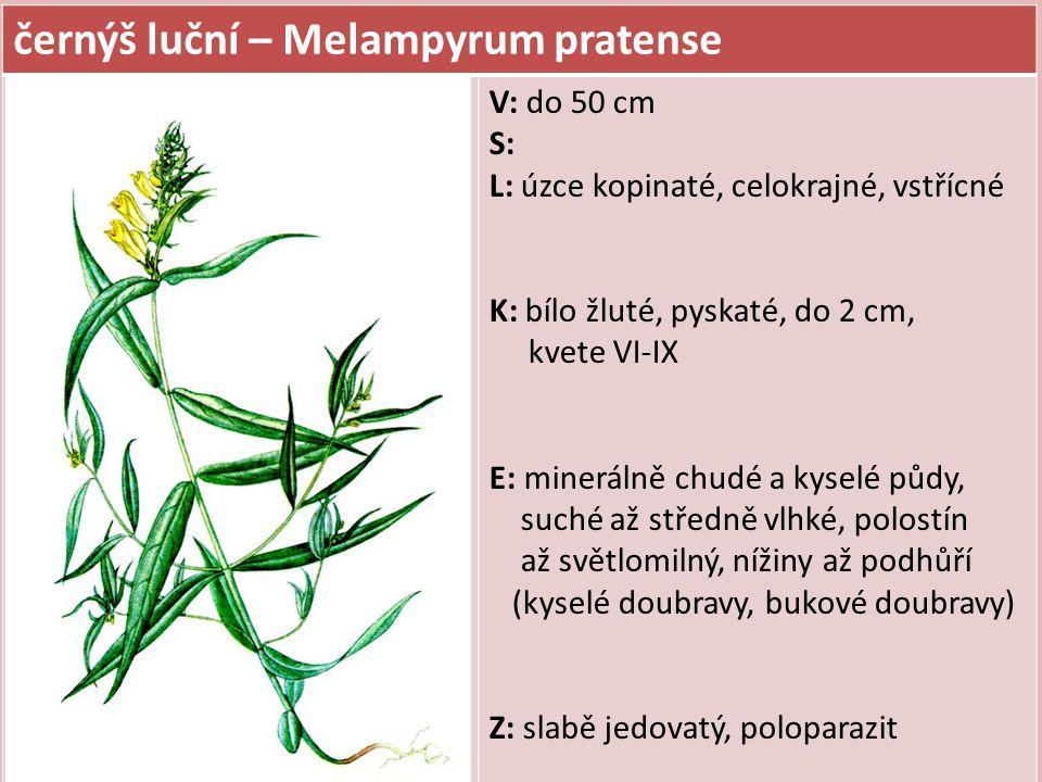 černýš luční – Melampyrum pratense