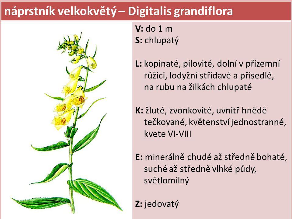 náprstník velkokvětý – Digitalis grandiflora