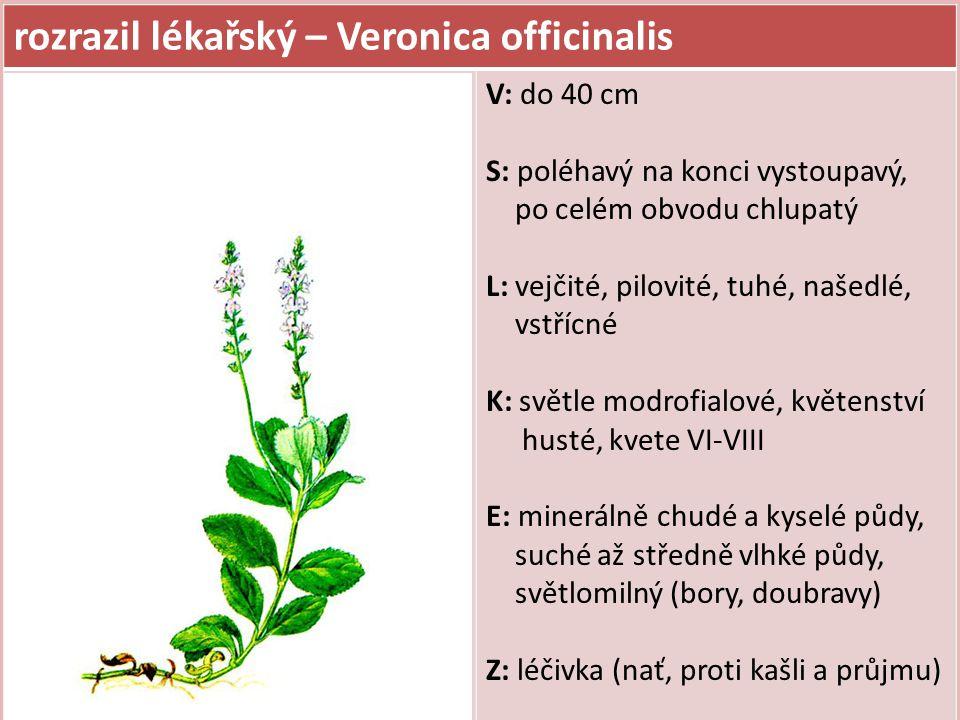 rozrazil lékařský – Veronica officinalis