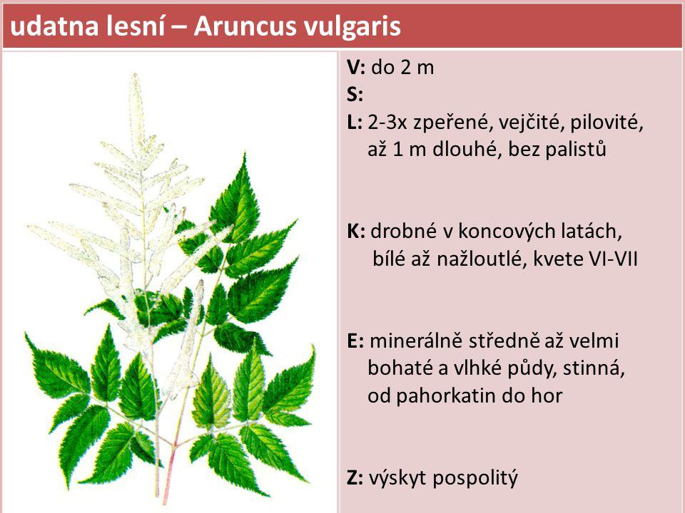 udatna lesní – Aruncus vulgaris