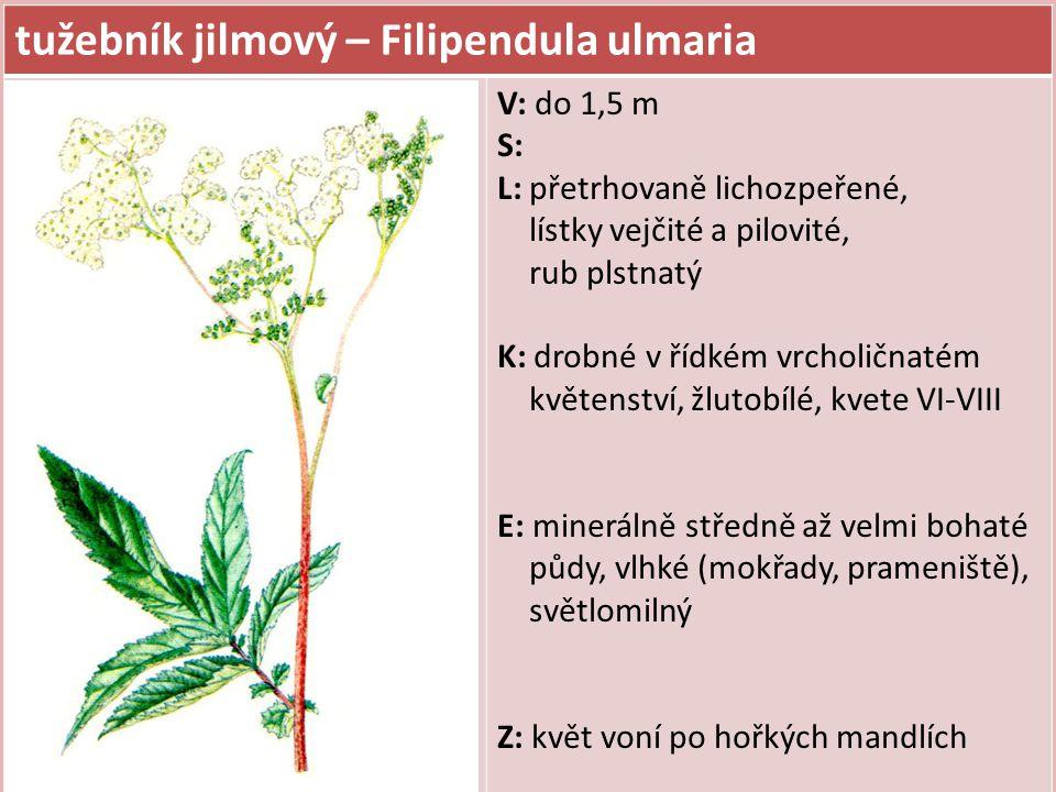 tužebník jilmový – Filipendula ulmaria