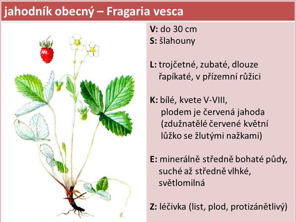 jahodník obecný – Fragaria vesca