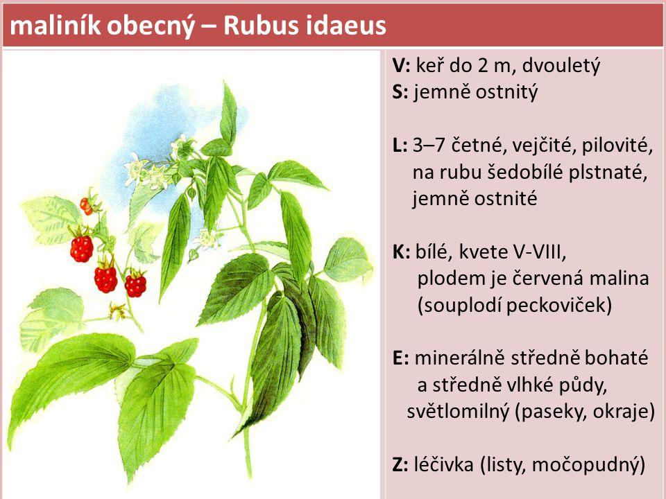 maliník obecný – Rubus idaeus