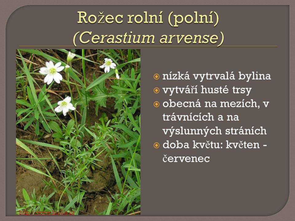 Rožec rolní (polní) (Cerastium arvense)